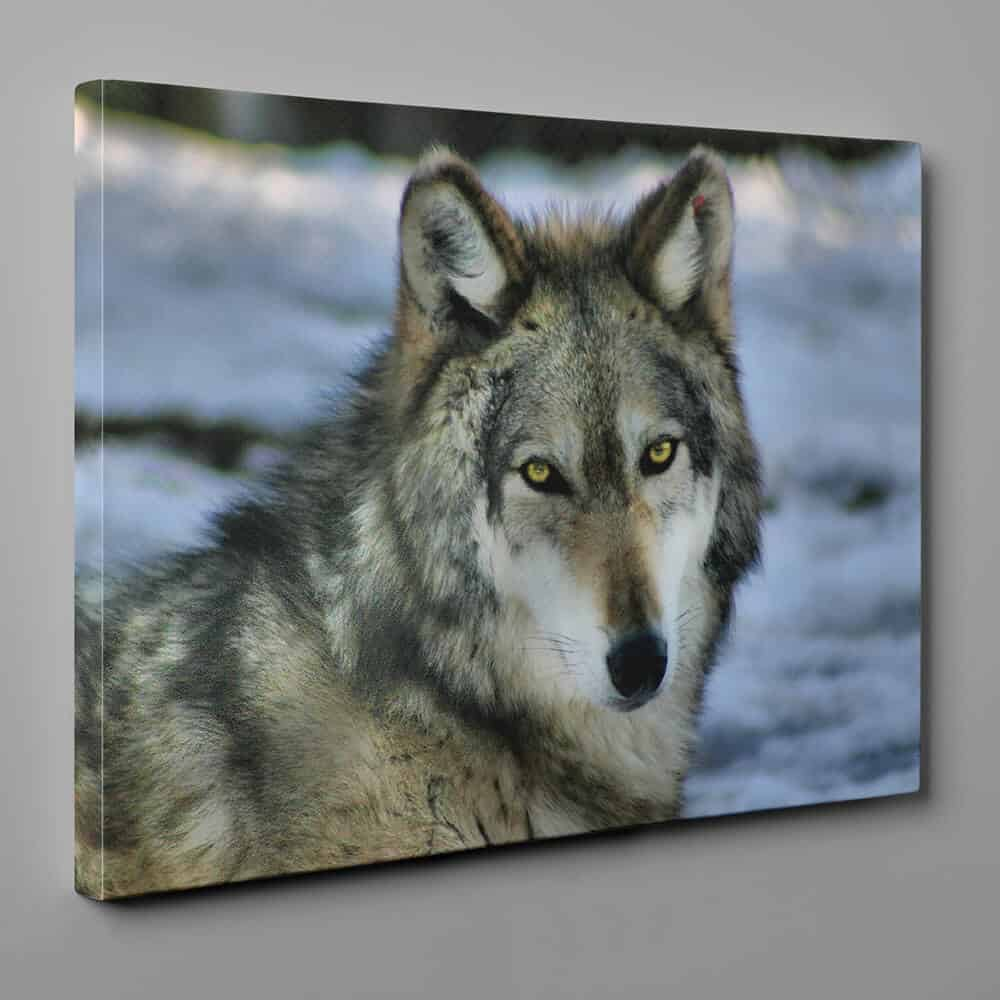 Yellow-Eyed Wolf Close Up Canvas Wall Art