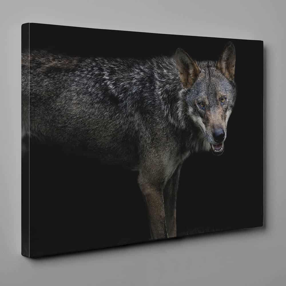 Gray Wolf In The Dark Canvas Wall Art